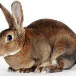 Сукрольная крольчиха