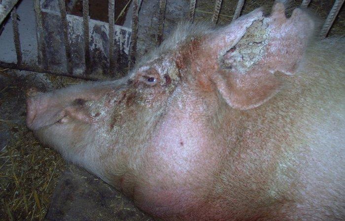 Клещи у свиньи