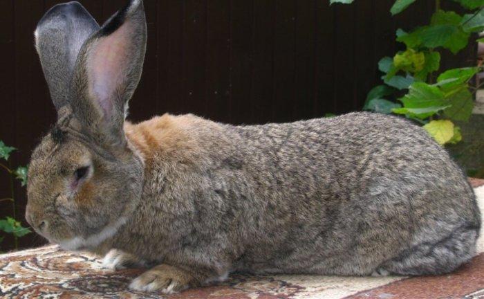 У кроликов Обер мощный иммунитет