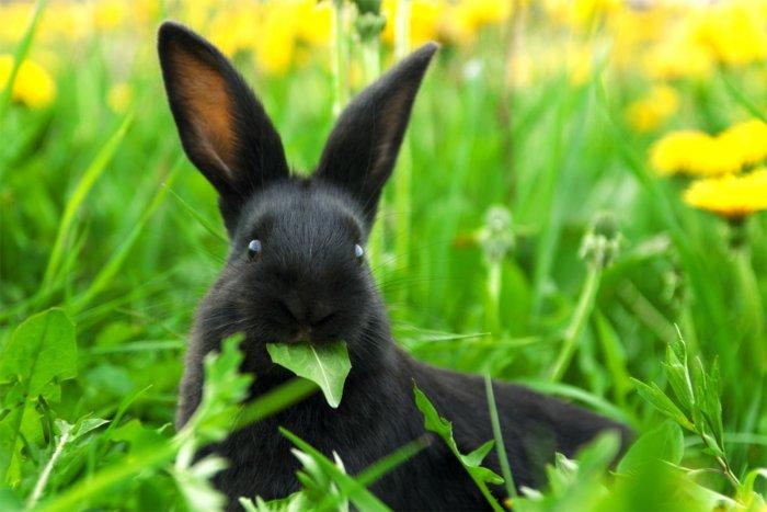 Кролик ест подорожник