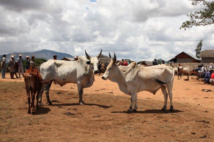Горбатые коровы Зебу
