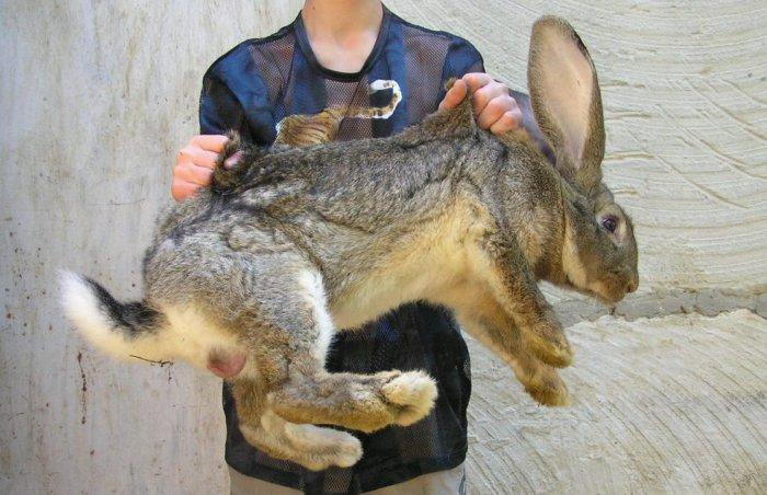 В ямах невозможно выращивать кроликов крупных пород