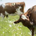 Дырка в боку у коровы