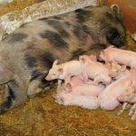 Опоросившаяся свинья с приплодом