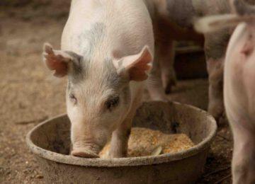 Мешанка для свиней