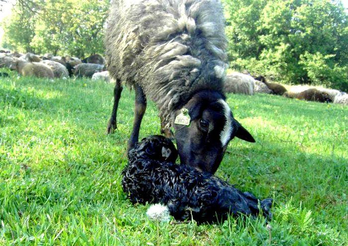 Окот у овцы