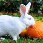 Кролик перед тыквой