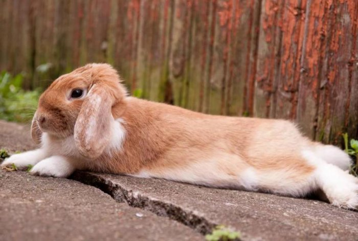 Кролик рыжий баран