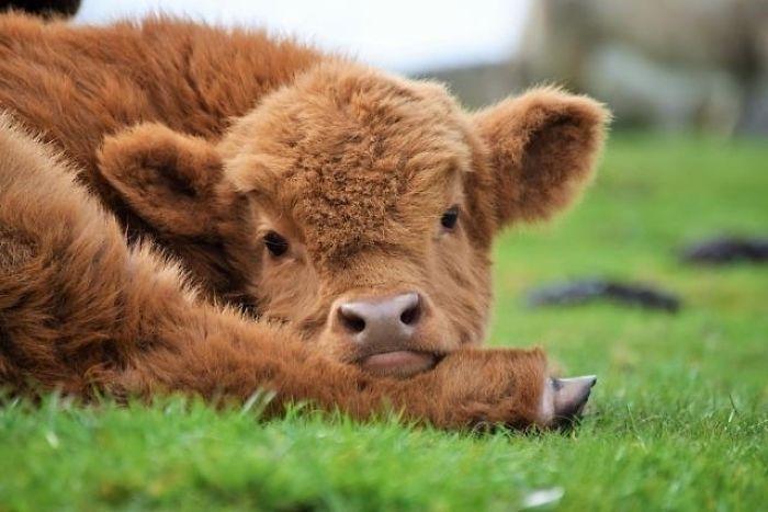Больной теленок