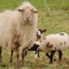 Подсадка чужих ягнят к лактирующей овце