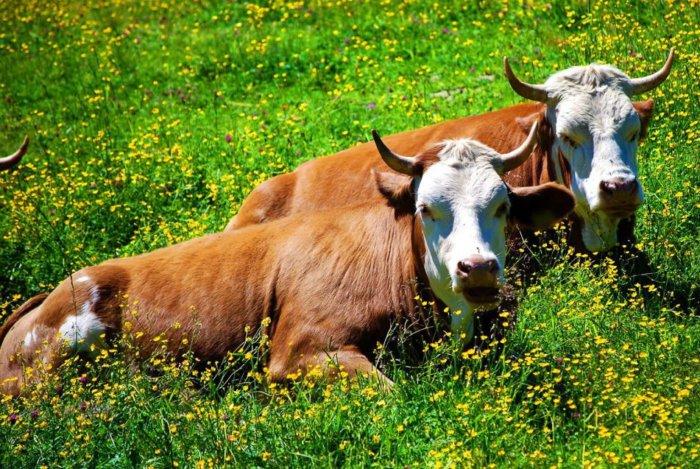 Перед установкой фистулы корова должна быть здорова