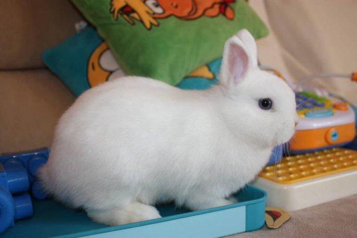 Разведение кроликов Гермелин