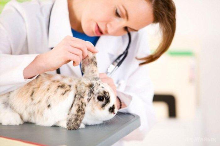 Осмотр кролика ветеринаром