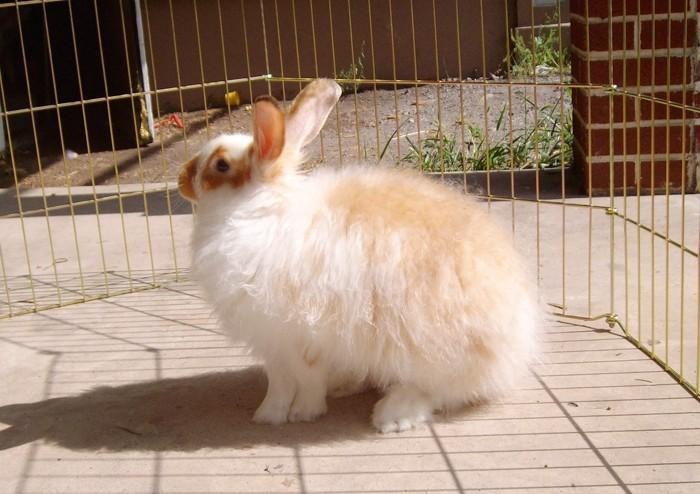 Ангорские рыжики кролики