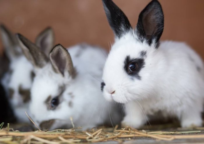 Крольчата в период отсаживания от крольчихи