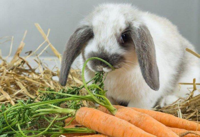 Кормление беременной крольчихи