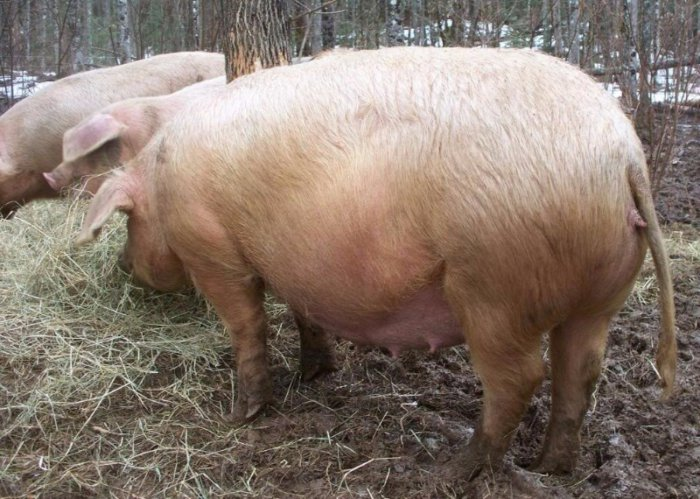 Свиноматка в период супоросности