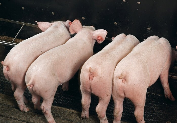Сухое кормление свиней