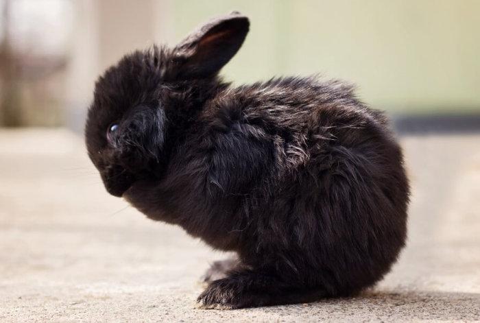Пастереллёз у кролика