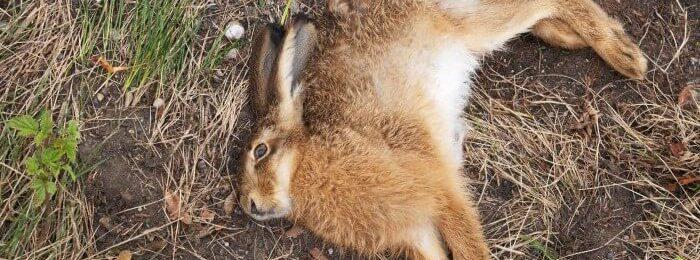 Кролик умирает