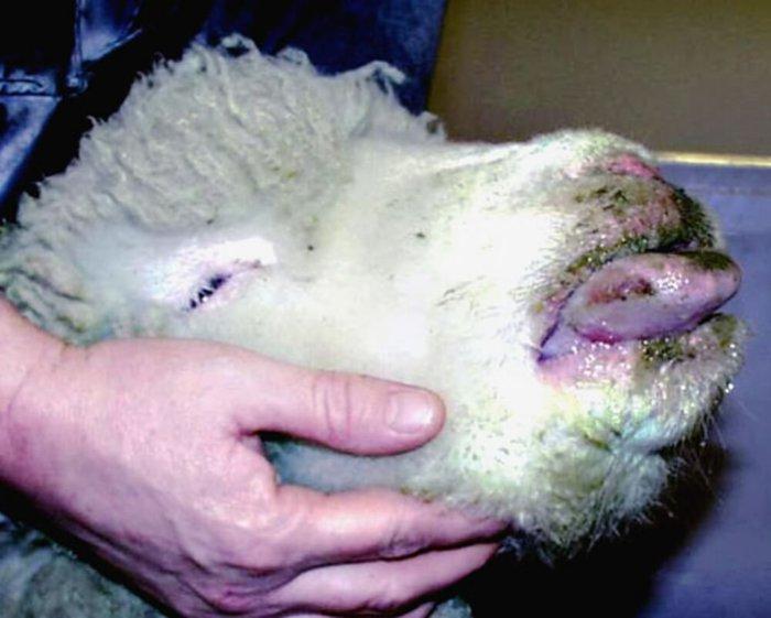 Симптомы оспы у овец