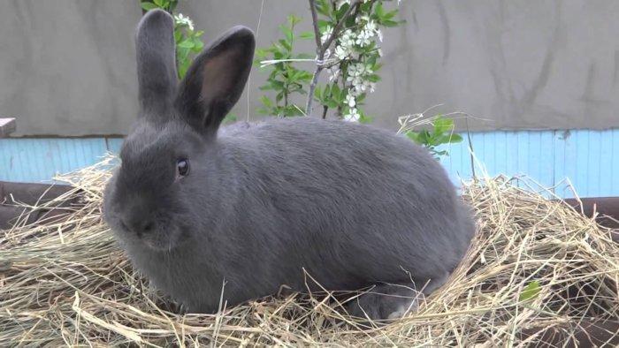 Кролик породы Венский голубой