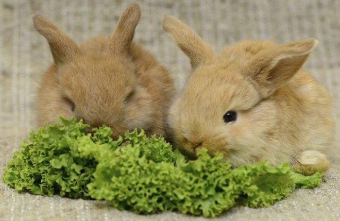 Кормление крольчат петрушкой