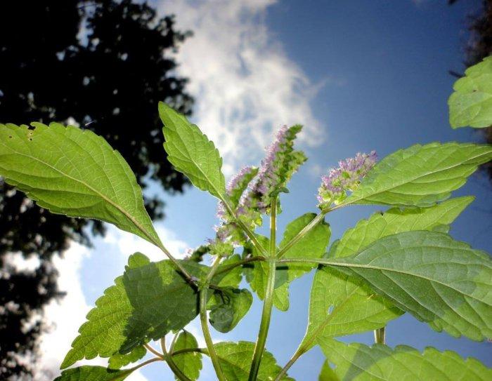 Растение щирица