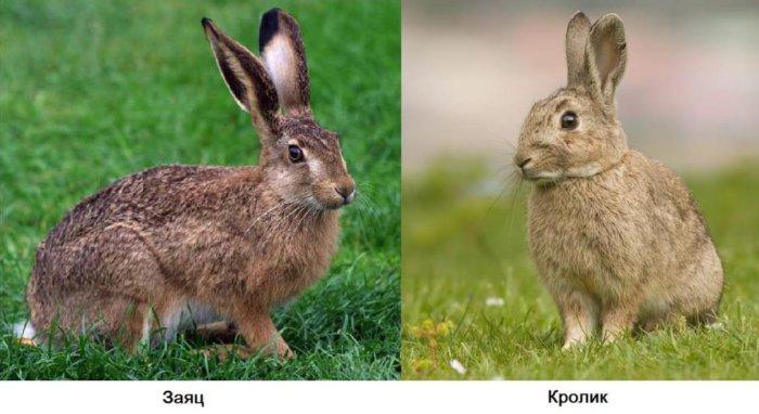 Заяц и кролик