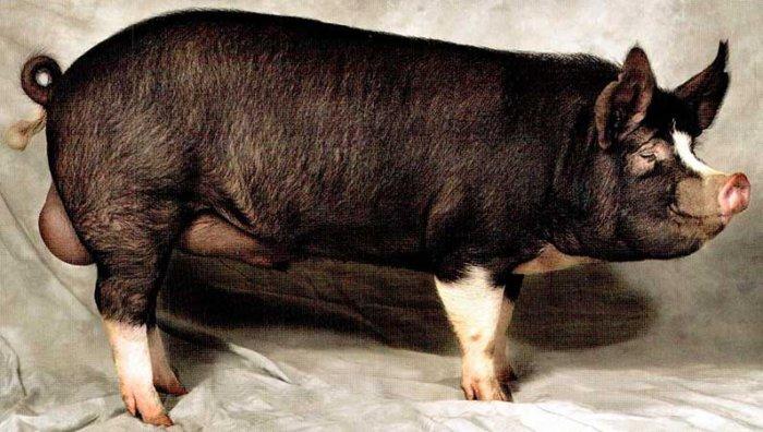 Беркширская порода свиней