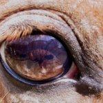 Больной глаз у КРС