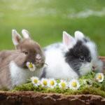 Кролики любят полакомиться ромашкой