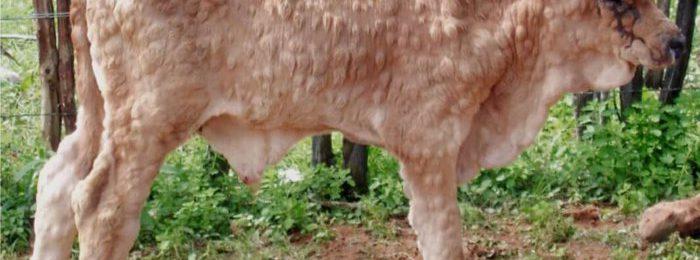 Нодулярный дерматит у теленка