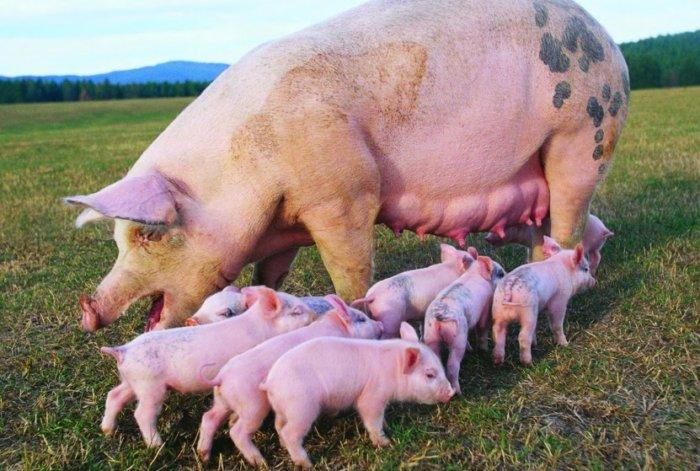 Разведение свиней на домашнем подворье