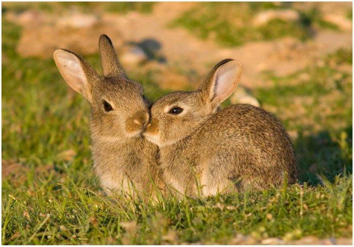 Дикий или европейский кролик
