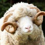 Овца-меринос