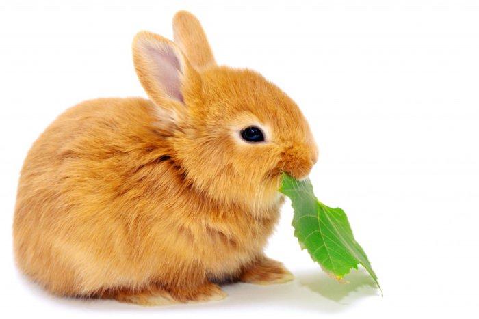 Кролик ест листочек