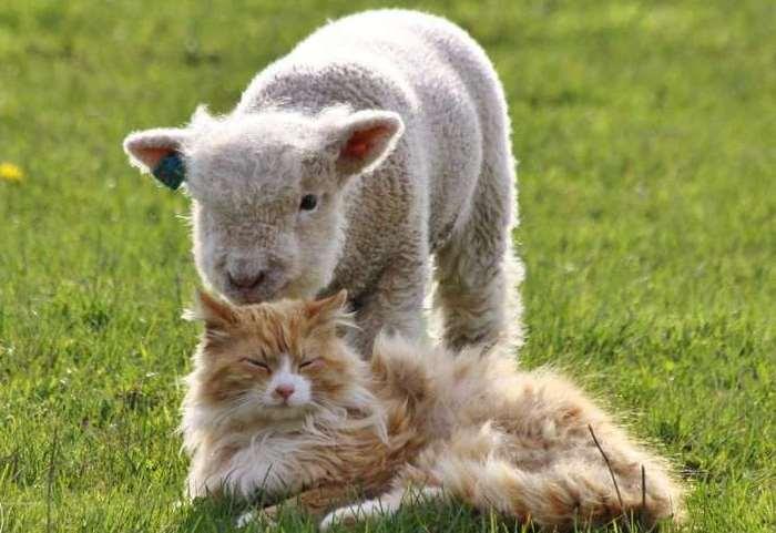 Карликовый ягненок в сравнении с кошкой
