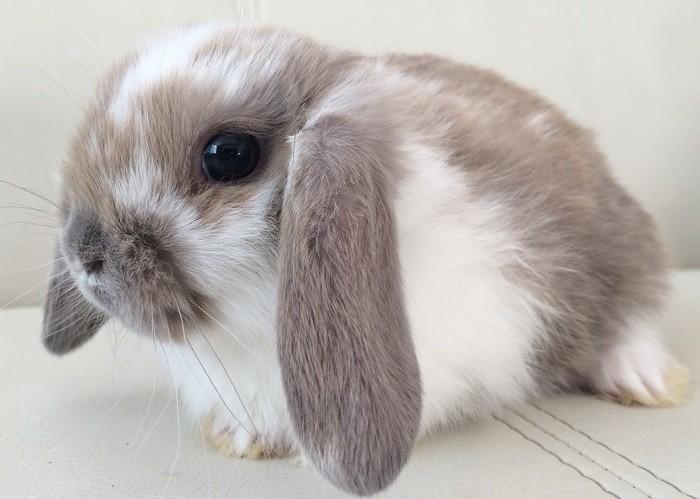 Карликовые кролики: их породы, содержание и уход в ... Декоративные Кролики Уход