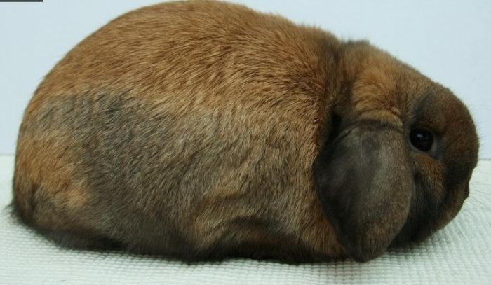 Голландские вислоухие кролики