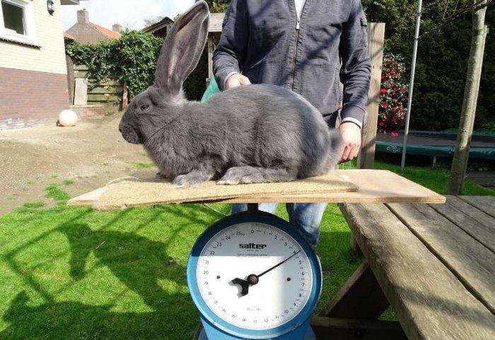 Взвешивание кроликов перед случкой