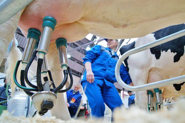 Машинное доение коров