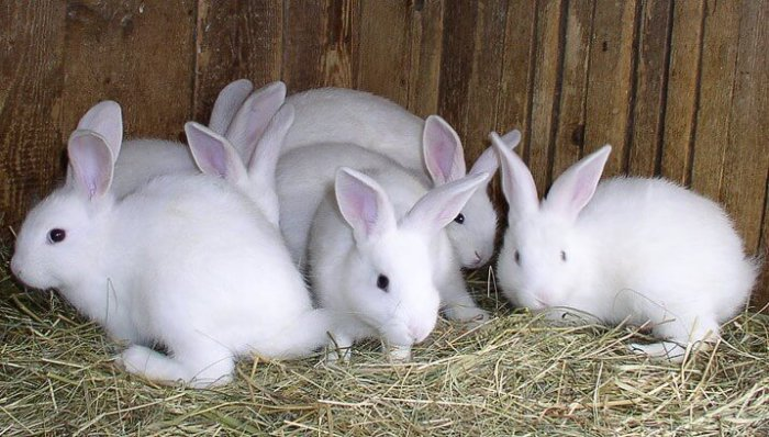 Ранний отъём крольчат от матери сказывается на их иммунной системе