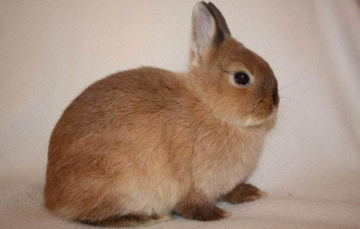 Первый раз подстригают когти кролику в полгода