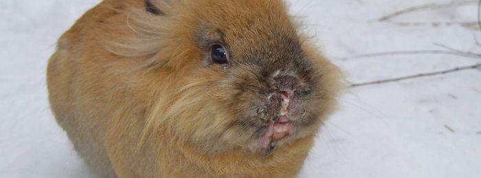 Инфекционный стоматит у крольчонка
