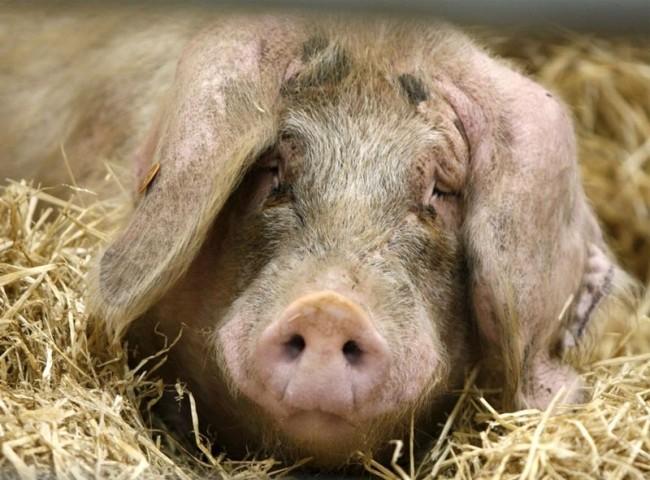 Конъюнктивит у свиней