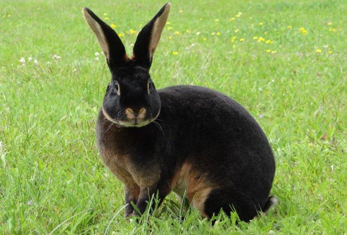 Внешний вид чёрно-огненного кролика