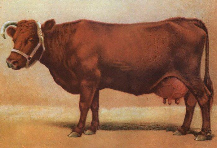 Описание коровы бестужевской породы