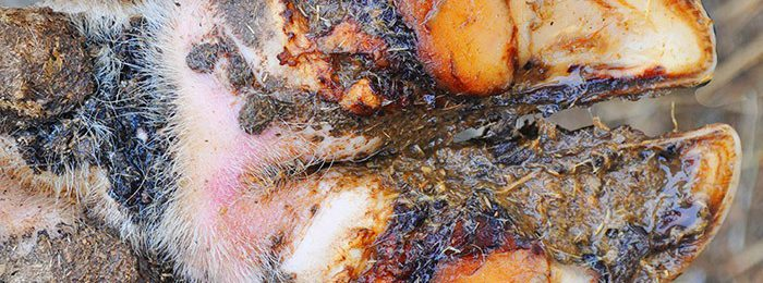 Некробактериоз у крупного рогатого скота