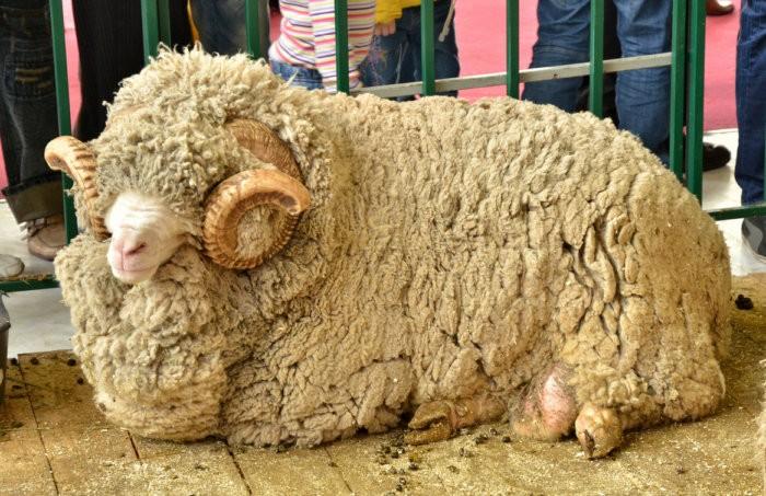 Руно овец меринос сильно отличается от других